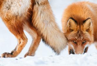 fox-photography-russian-miner-ivan-kislov-chukotka-8