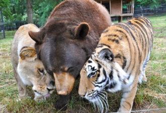 lev-tigr-i-medved-nerazluchnye-druzya-1