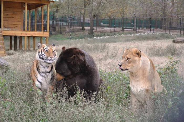 lev-tigr-i-medved-nerazluchnye-druzya-10