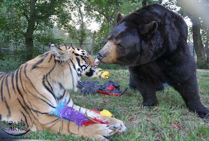 lev-tigr-i-medved-nerazluchnye-druzya-2