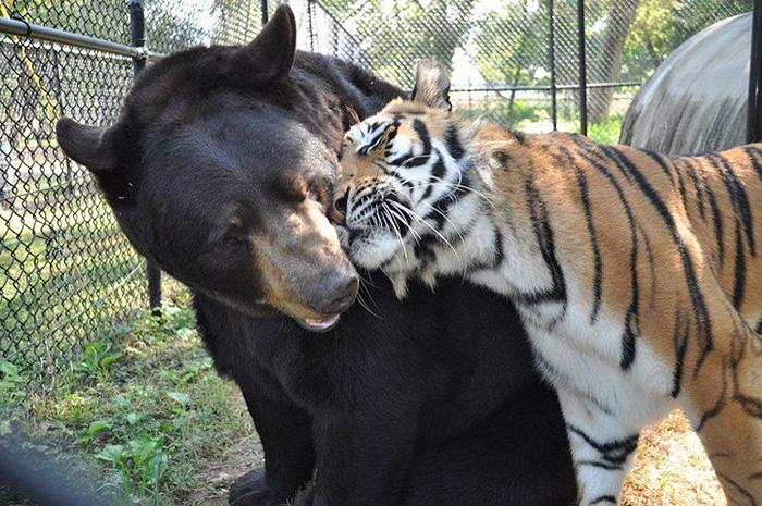 lev-tigr-i-medved-nerazluchnye-druzya-7