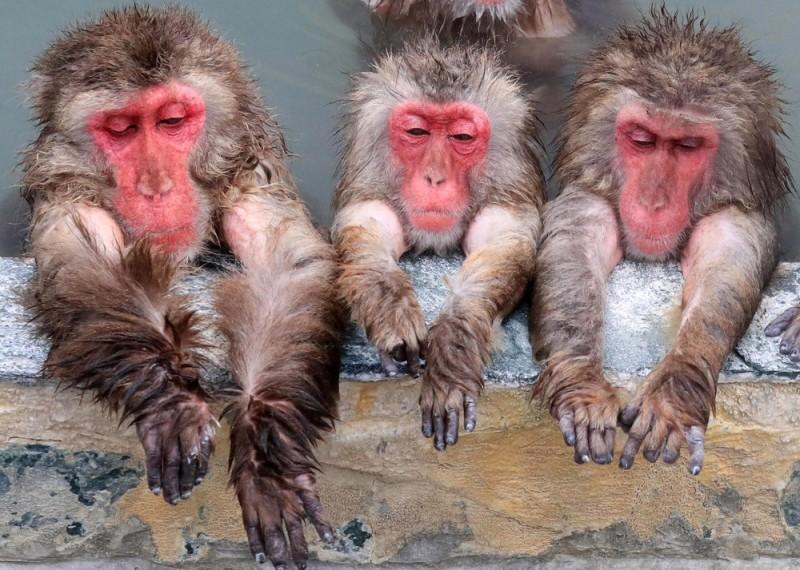 yaponskie-makaki-baldeyut-v-goryachix-istochnikax-3