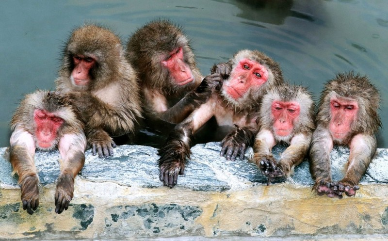 yaponskie-makaki-baldeyut-v-goryachix-istochnikax-7