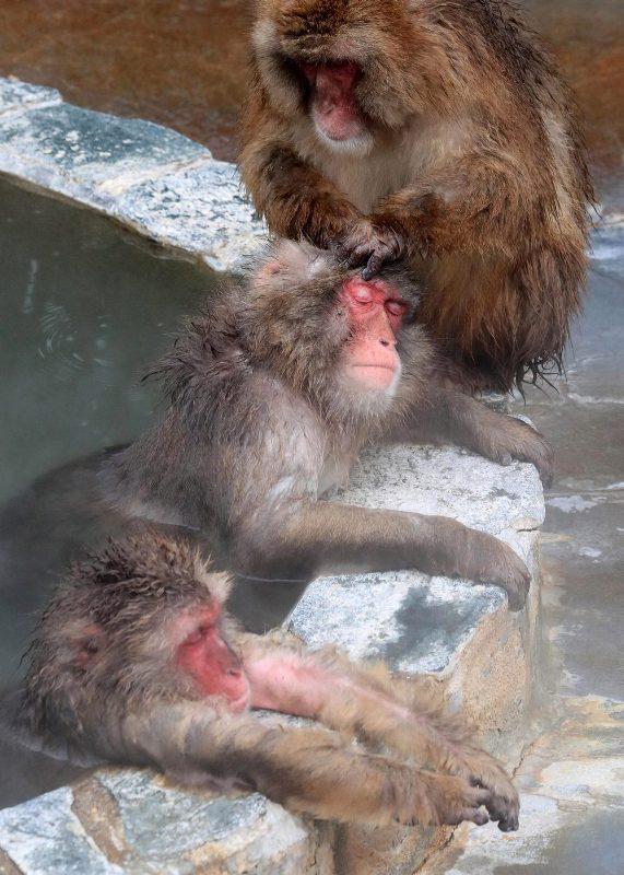 yaponskie-makaki-baldeyut-v-goryachix-istochnikax-8