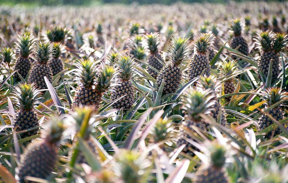 ananas-jpg2