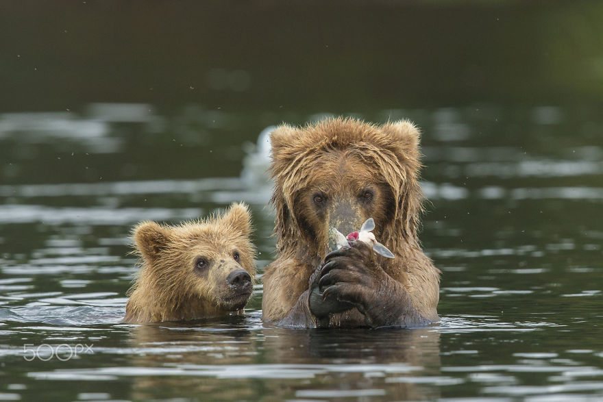mother-bear-cubs-animal-parenting-33-57e3c2f062870__880
