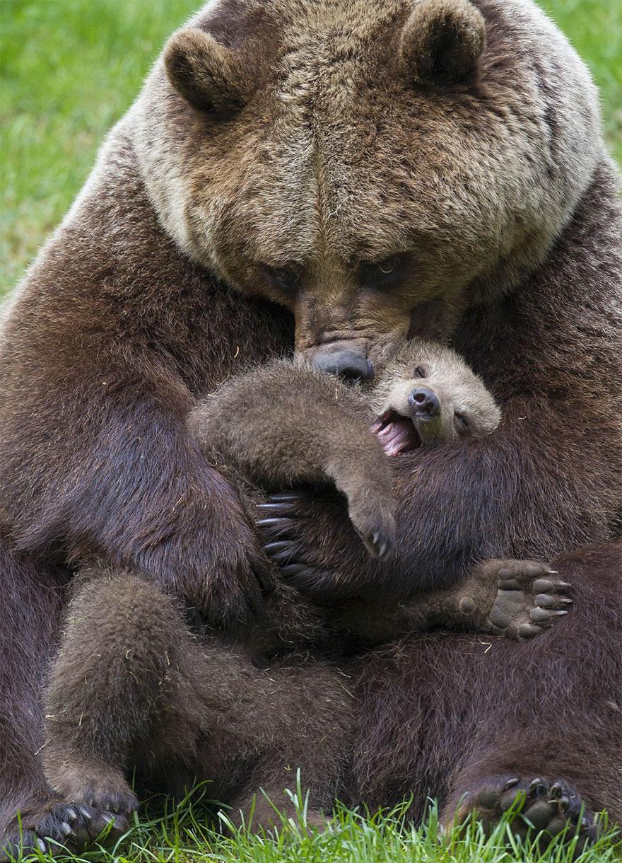mother-bear-cubs-animal-parenting-45-57e3c999e1c30__880
