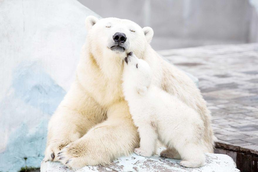 mother-bear-cubs-animal-parenting-46-57e3c979dfdd1__880