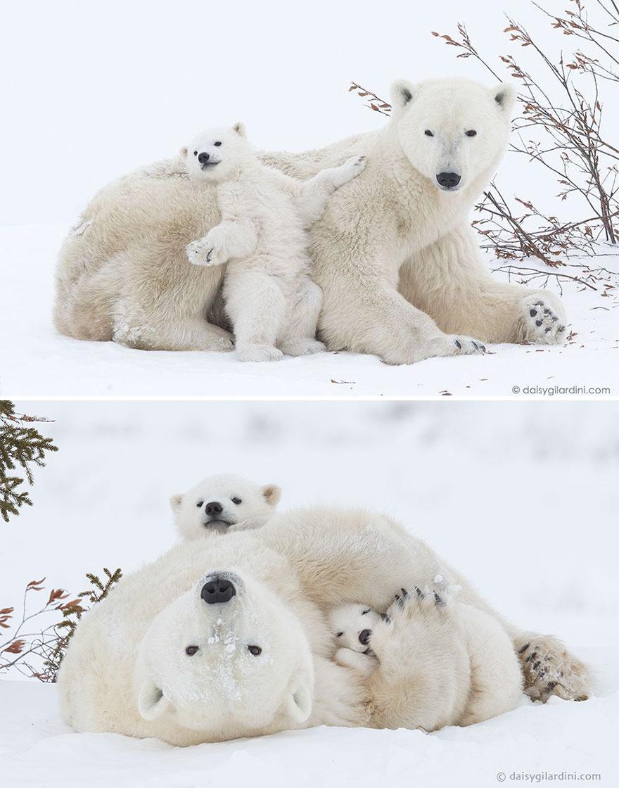 mother-bear-cubs-animal-parenting-48-57e3cb3b33c8d__880